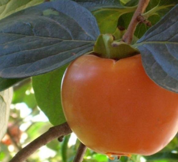 Caqui. Fruta otoñal. Beneficios y Receta Mermelada